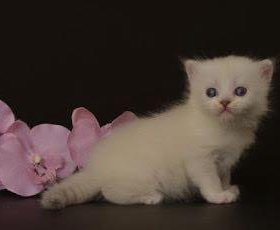 Котенок (девочка ) манчкин