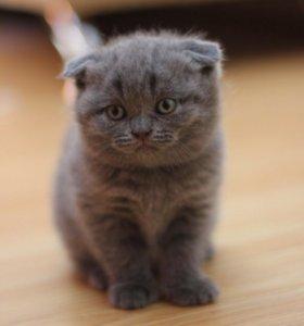 Котята вислоухие шотландские