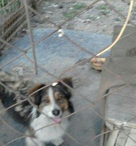 дворовой пес охранник