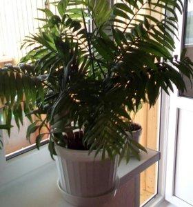 Комнатное растение пальма Хамедорея