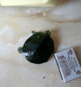 Бесплатно. Черепаха которая живёт в воде.