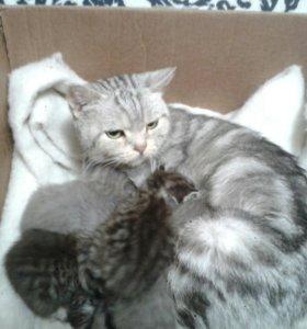Британские котята д.р.17.04