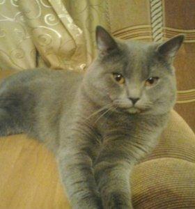 Кот британец. Вязка