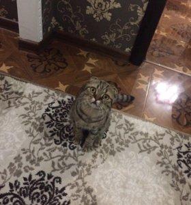Британский котёнок тигрового окраса 7 месяцов
