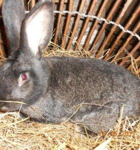 Кролики мясной породы Фландр