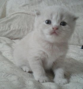 Продаю шотландских котят скоттиш-фолд и страйт.