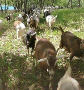 Дойные молочные козы