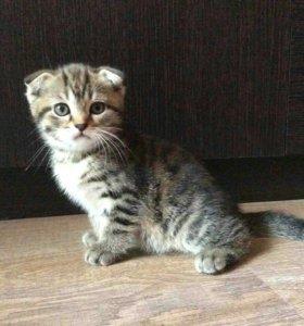 Шотландский чистокровный вислоухий котёнок
