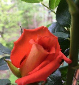 Розы(саженцы)  разных сортов