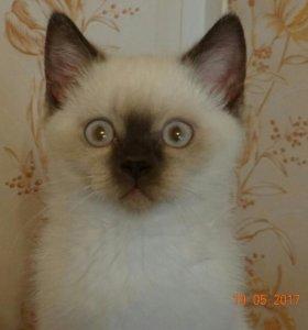 Красавец Шерхан 2,5 месяца