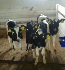 Телята мясных молочных пород