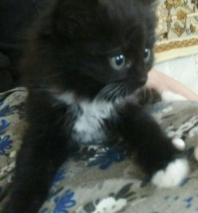 Кошка 1,5 месячная.