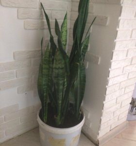 Цветы комнатные растения Сансевиерия