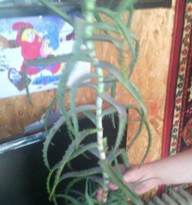 Цветы алоэ лечебное 4 летние