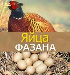 Инкубационные яйца фазана.