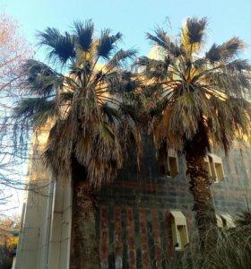 Годовалые сеянцы пальм