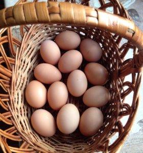 Яйцо орпингтона