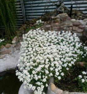 Цветы Арабис