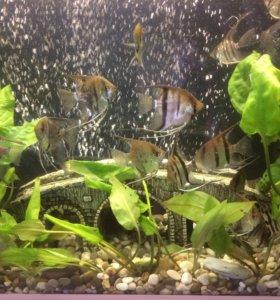 Скалярия ( рыбки)