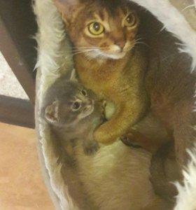 Котята от абиссинцев