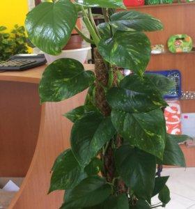 Эпипремнум.Комнатные растения