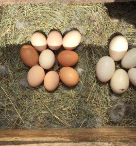 Яйцо куриное и утиное
