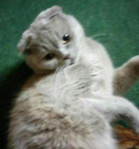 Шотландский кот .Вязка