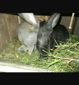 Свежее мясо кроликов