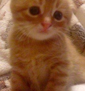 Котёнок шотландский вислоухий