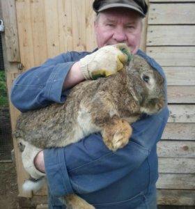 Кролики резин (великаны)