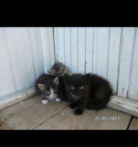 Котята от очееень пушистой кошки