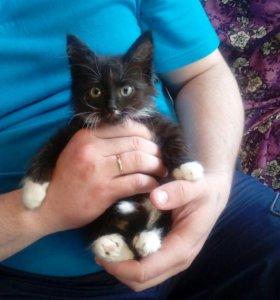 Котёнок мальчик 1-2 месяца