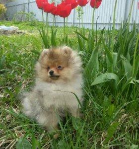 Померанского шпица щенок мальчик