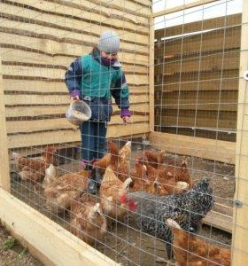 Куриные яйца 100руб; инкубационные яйца 30 руб