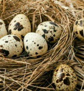 Яйцо инкубационное перепелов