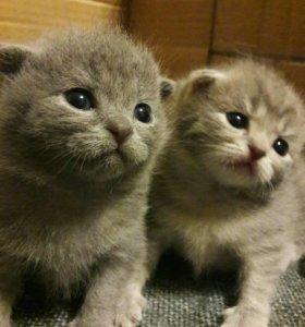 Продаются котятки
