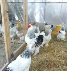 Цыплята светлая брама