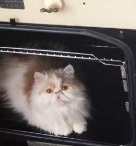 Открыт резерв на персидских котят