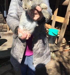 Продаю кроликов мясных