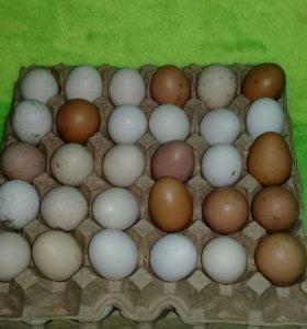Домашние яйца кур