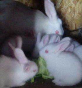 Кролики на разведение и на мясо