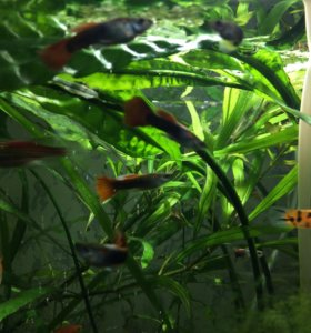 Продажа и обмен аквариумных рыб, растений