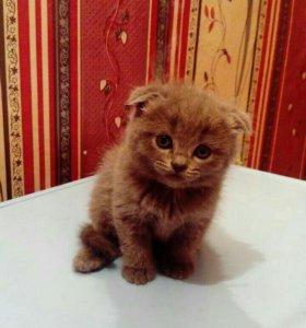 Продам вислоухого котика