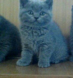 Продаются плюшевые Британские котята