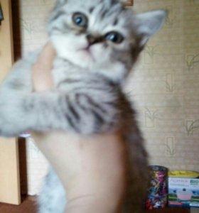 Котенок-британец, кошечка.