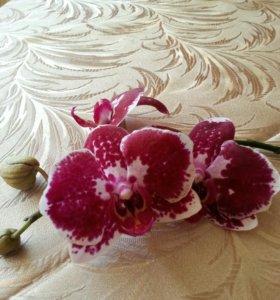 Орхидея фаленопсис (отростки)