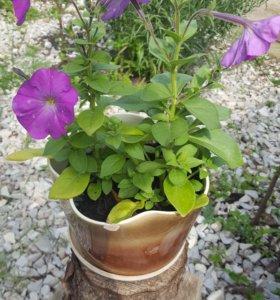 Петуния ароматная садовая