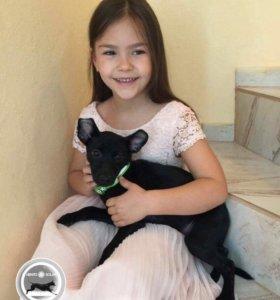 Щенок мексиканской голой собаки( мини)