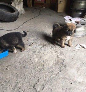Продам щенков 1 месяц(мальчики)