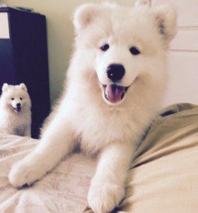 Щенок Самоедской собаки.